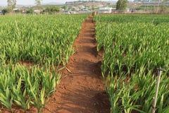 Planta del gladiolo en el dalat- Vietnam, en la colina, soild rojo, fila por fila Imagen de archivo libre de regalías
