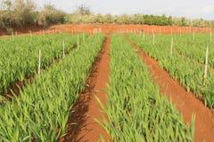Planta del gladiolo en el dalat- Vietnam, en la colina, soild rojo, fila por fila Imagen de archivo