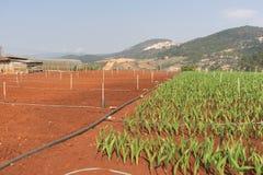 Planta del gladiolo en el dalat- Vietnam, en la colina, soild rojo, fila por fila Fotos de archivo libres de regalías
