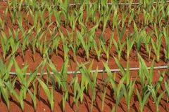 Planta del gladiolo en el dalat- Vietnam, en la colina, soild rojo, fila por fila Imagenes de archivo
