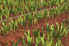 Planta del gladiolo en el dalat- Vietnam, en la colina, soild rojo, fila por fila Foto de archivo