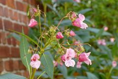 Planta del glandulifera de Impatiens en jardín imagenes de archivo
