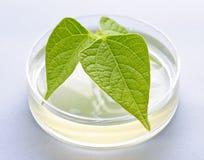 Planta del GM en el plato de petri Foto de archivo