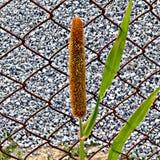 Planta del grano del mijo de perla Imagen de archivo