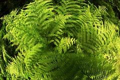 Planta del helecho en el bosque Imagen de archivo libre de regalías