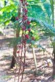 Planta del hibisco Imagenes de archivo