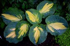 Planta del Hosta Imagenes de archivo