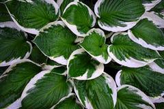 Planta del Hosta Fotos de archivo