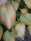 Planta del hosta del oro imagenes de archivo