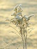 Planta del invierno con helada de la mañana en la salida del sol Foto de archivo
