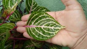 Planta del Iresine Fotografía de archivo