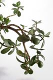 Planta del jade Fotografía de archivo