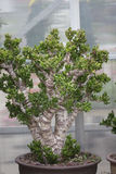 Planta del jade fotografía de archivo libre de regalías
