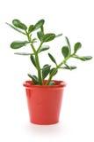 Planta del jade Imagen de archivo libre de regalías