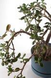 Planta del jade en crisol Imagen de archivo libre de regalías