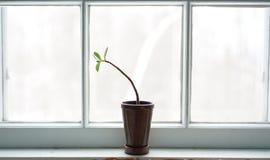 Planta del jade en ventana imagen de archivo