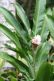 Planta del jengibre Imagenes de archivo
