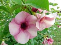 Planta del jubulie de la cereza Imagen de archivo libre de regalías