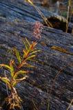 Planta del laurel de San Antonio del otoño que crece entre los registros de la madera de deriva Imagen de archivo