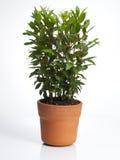 Planta del laurel en crisol Imagenes de archivo