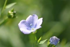 Planta del lino con su flor Imágenes de archivo libres de regalías