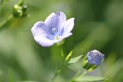 Planta del lino con su flor Imagen de archivo libre de regalías
