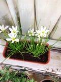 Planta del lirio de agua Fotografía de archivo libre de regalías