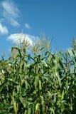 Planta del maíz foto de archivo
