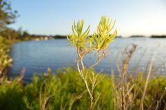 Planta del mangle Foto de archivo