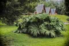 Planta del manicata de Gunnera en el balneario de Puyehue en Patagonia chilena fotografía de archivo