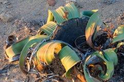 Planta del Mirabilis del Welwitschia que crece en el desierto de Namib árido caliente de Angola y de Namibia Fotografía de archivo