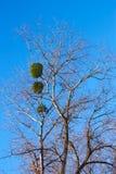 Planta del muérdago en un árbol de abedul Foto de archivo