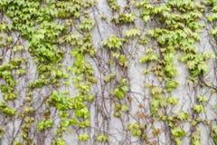 Planta del muro de cemento y de vid Foto de archivo libre de regalías