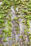 Planta del muro de cemento y de vid Fotografía de archivo