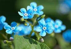 Planta del Myosotis con las flores Foto de archivo libre de regalías