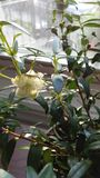 Planta del Myrtus que florece en luz brillante de la salida del sol delante de la ventana Imágenes de archivo libres de regalías