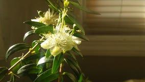 Planta del Myrtus que florece en luz brillante de la salida del sol delante de la ventana Foto de archivo