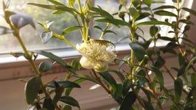 Planta del Myrtus que florece en luz brillante de la salida del sol delante de la ventana Fotos de archivo libres de regalías
