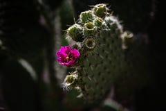 Planta del Nopal con la flor Foto de archivo libre de regalías