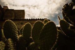 Planta del Nopal en puesta del sol Foto de archivo libre de regalías