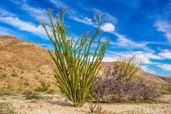 Planta del Ocotillo Foto de archivo