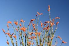 Planta del Ocotillo Imagen de archivo