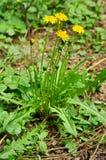 Planta del officinale del Taraxacum Foto de archivo libre de regalías