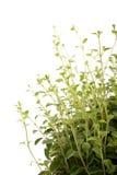 Planta del orégano Fotos de archivo