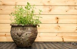 Planta del orégano en Clay Pot decorativo Foto de archivo libre de regalías