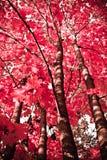 Planta del otoño Arce rojo Fotografía de archivo libre de regalías