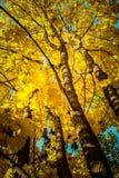 Planta del otoño Arce rojo Fotos de archivo libres de regalías