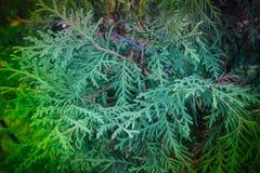 Planta del otoño ciprés Imagenes de archivo