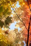 Planta del otoño rama amarilla del arce en el bosque Foto de archivo libre de regalías