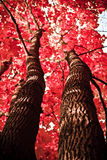 Planta del otoño rama del arce rojo en el bosque Fotografía de archivo libre de regalías
